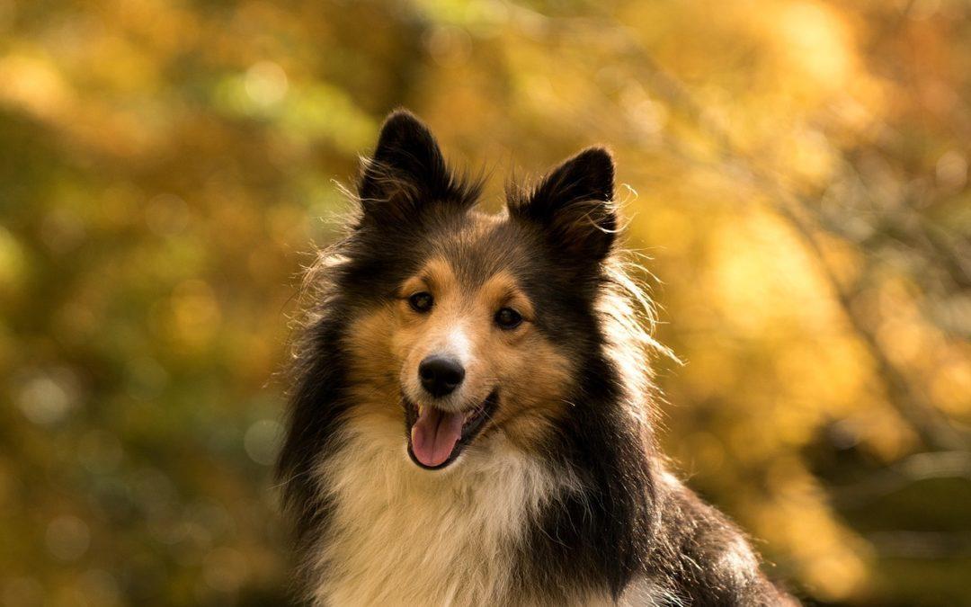 Calculs urinaires chez le chien : diagnostic et traitement