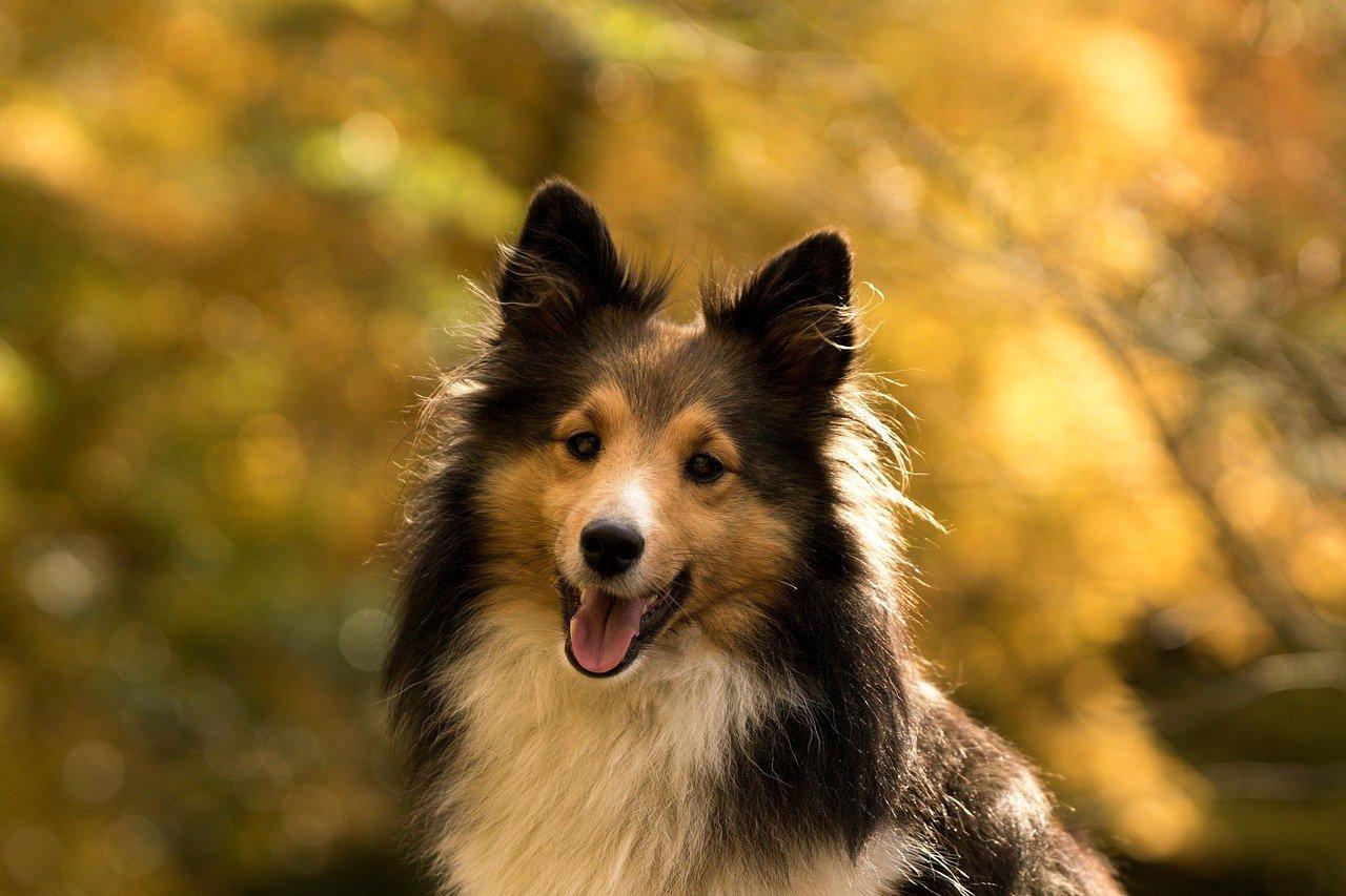 Calculs urinaires chez le chien