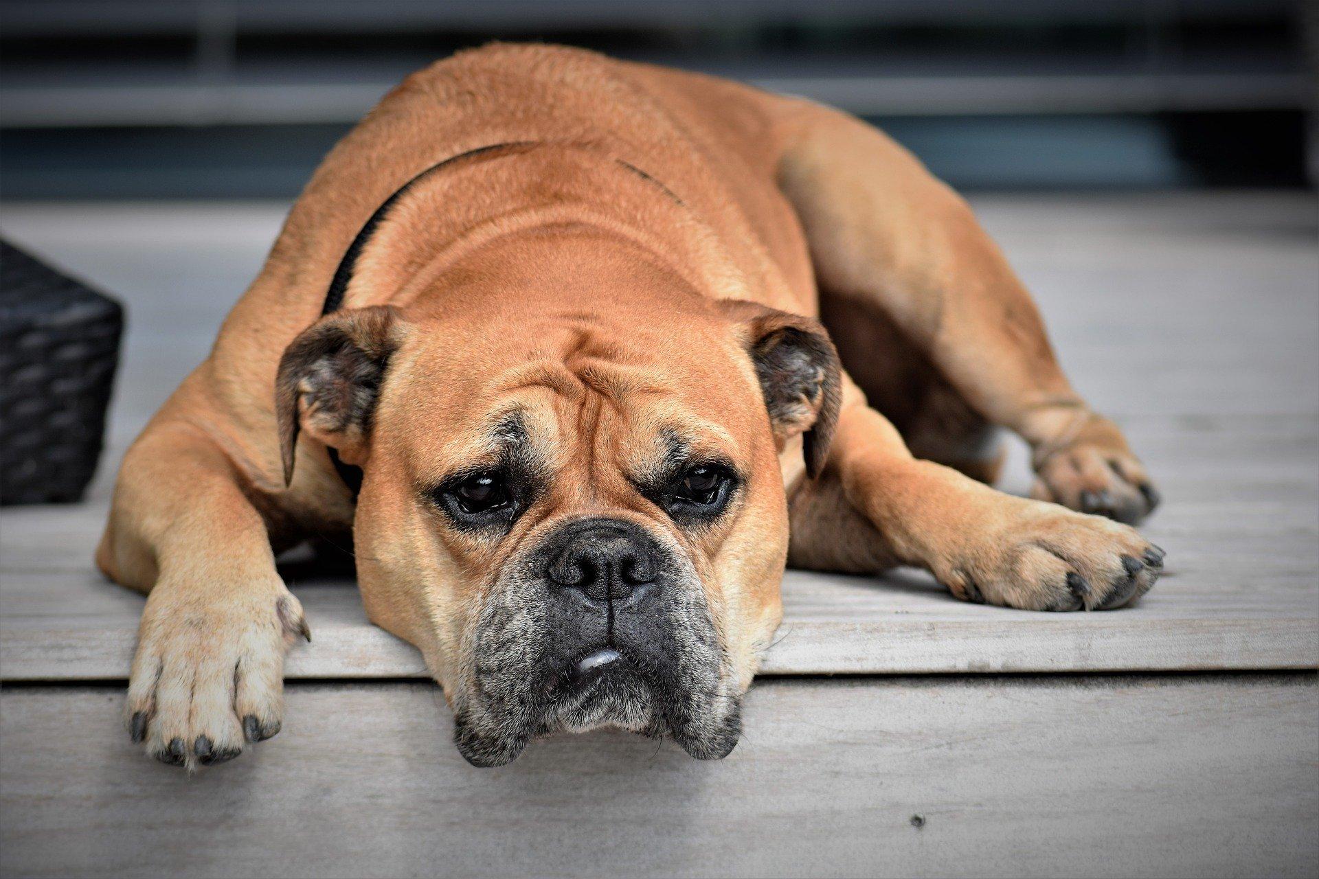Diarrhée chez le chien : causes et solutions