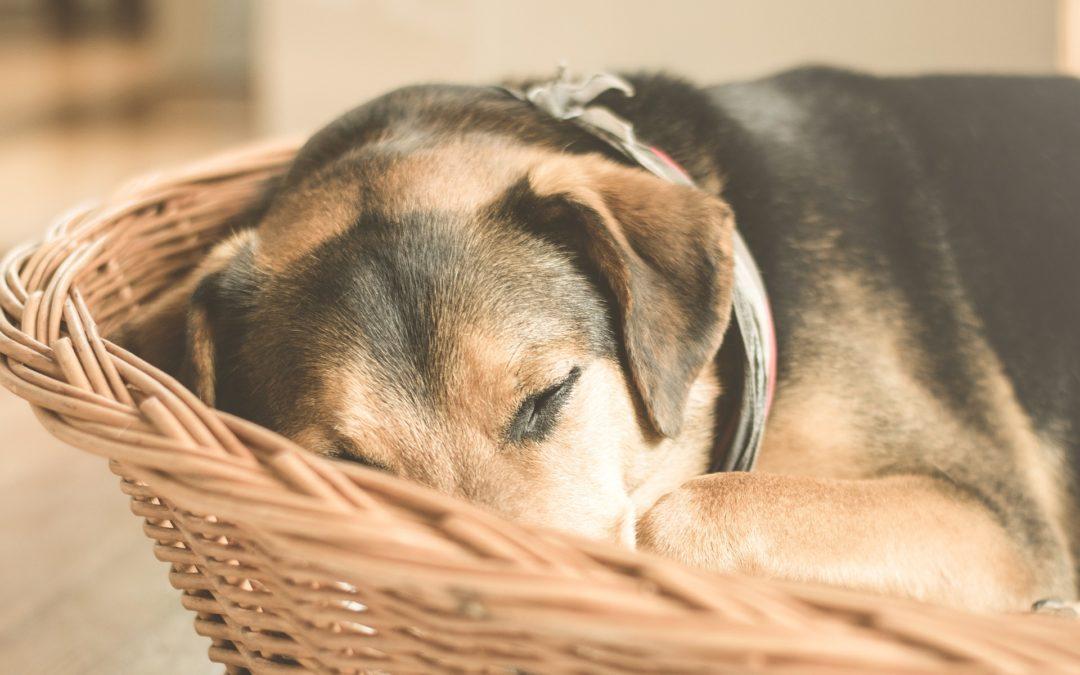 Douleurs et inflammations chez le chien : Comment l'aider ?