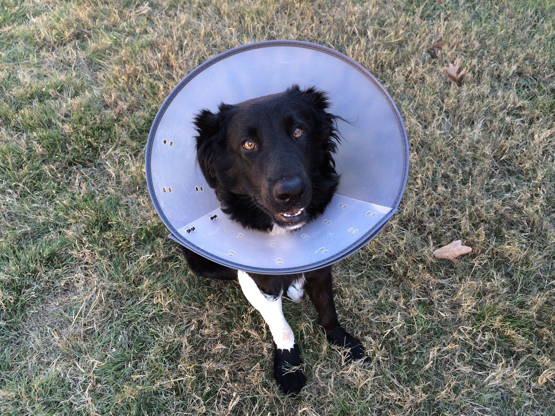 Fracture de l'os chez le chien