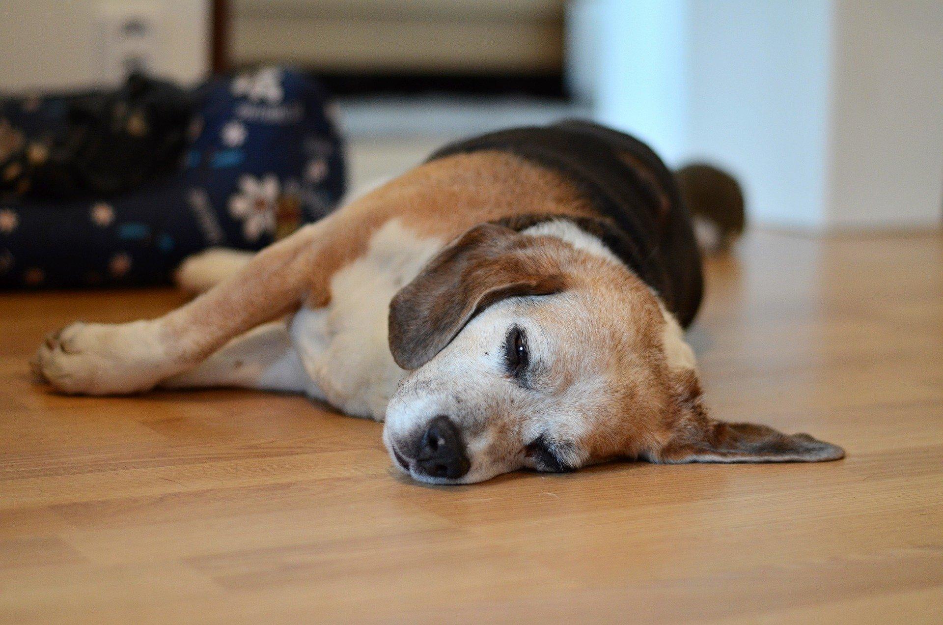 Hypoglycémie du chien