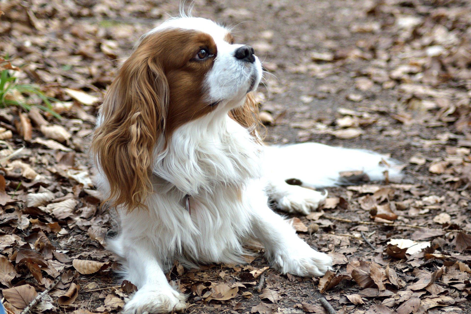 Mon chien boîte : comment le soulager?