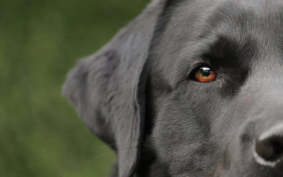 Problèmes oculaires chez les chiens : symptômes et actions possibles