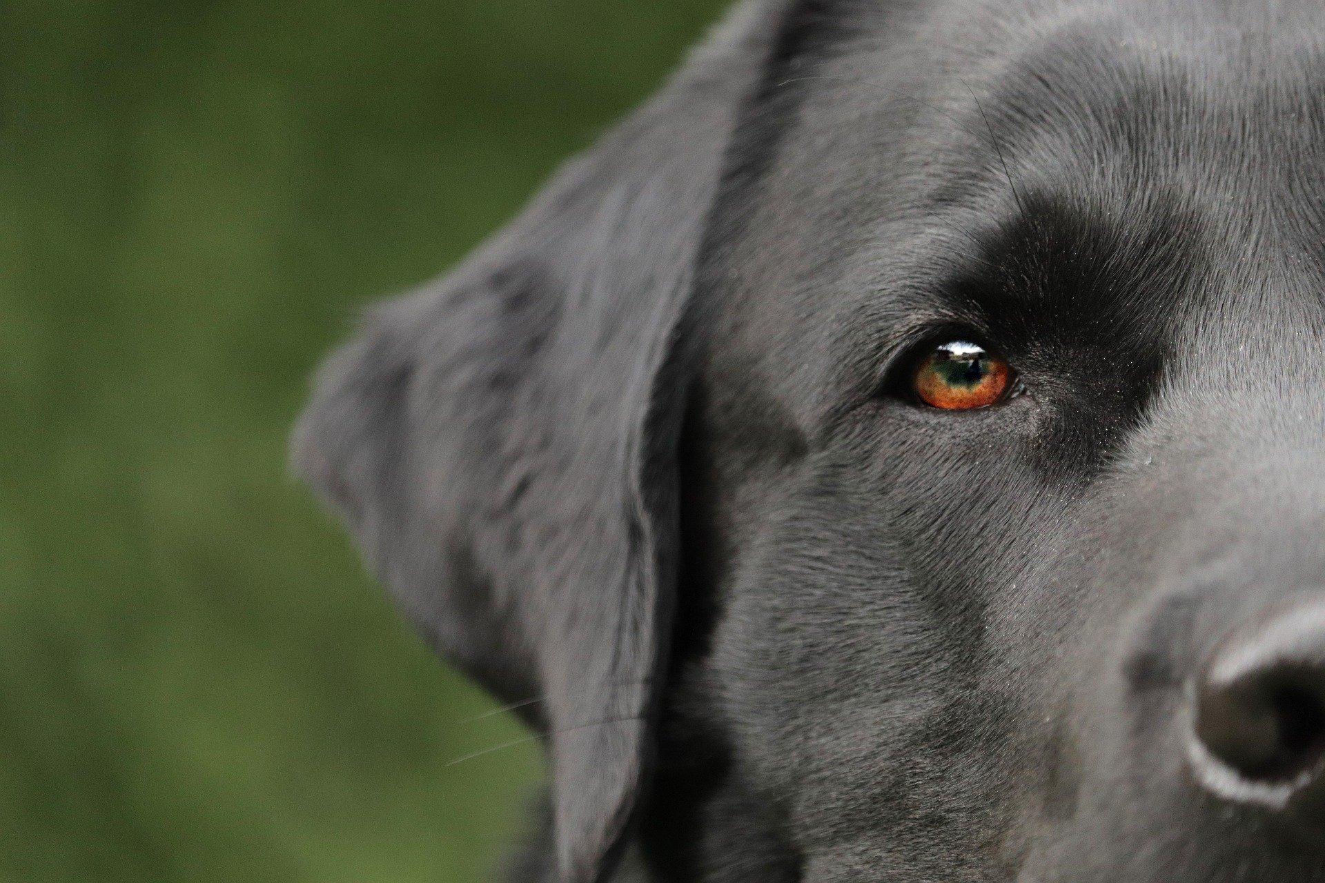 Problèmes oculaires chez les chiens