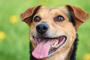 éliminer la mauvaise haleine de son chien