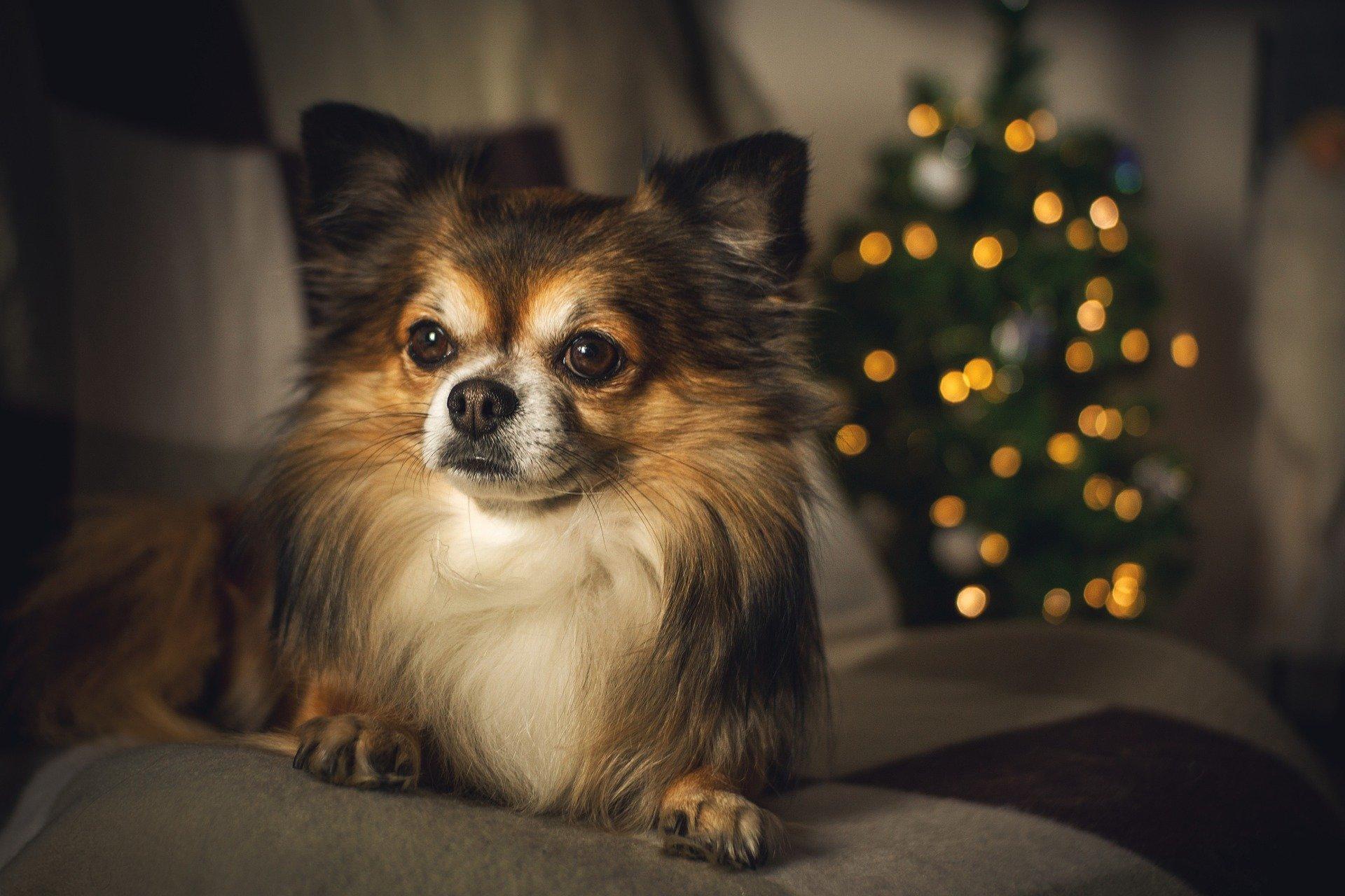 inflammations chez le chien