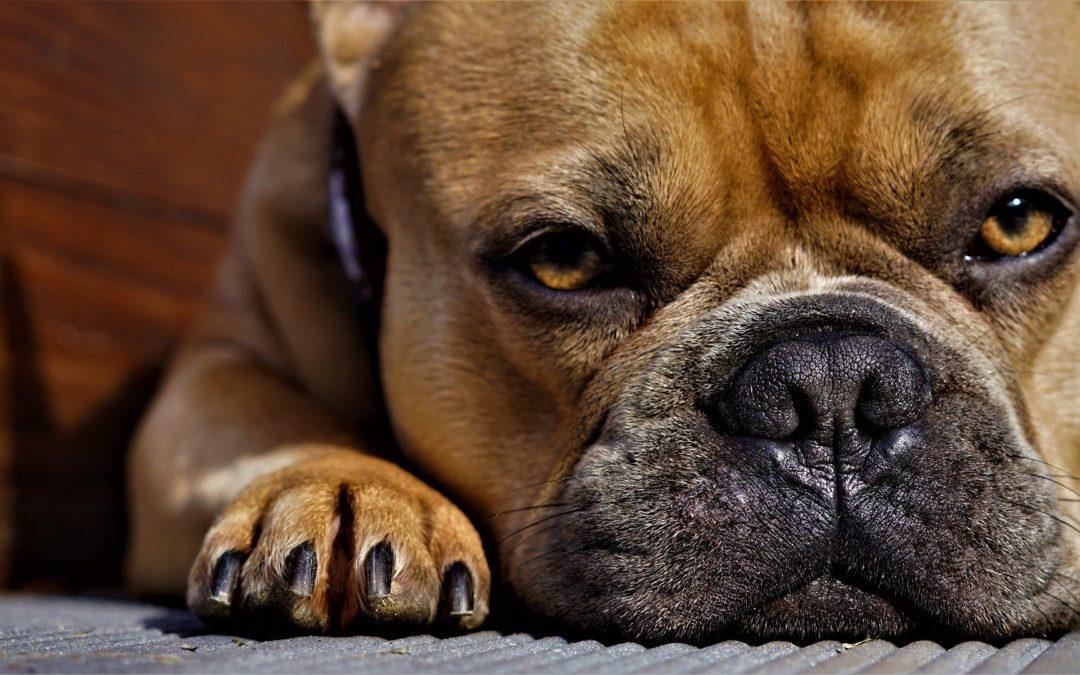 insuffisance cardiaque du chien