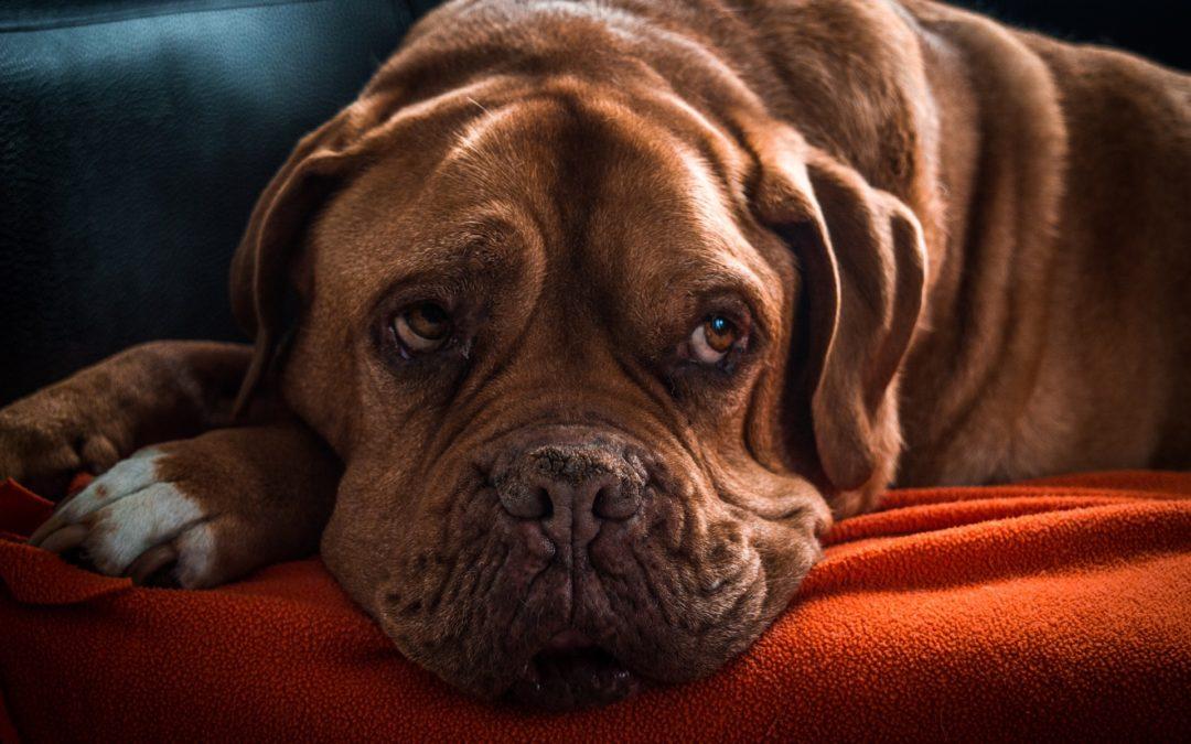 L'insuffisance cardiaque du chien : symptômes et traitement