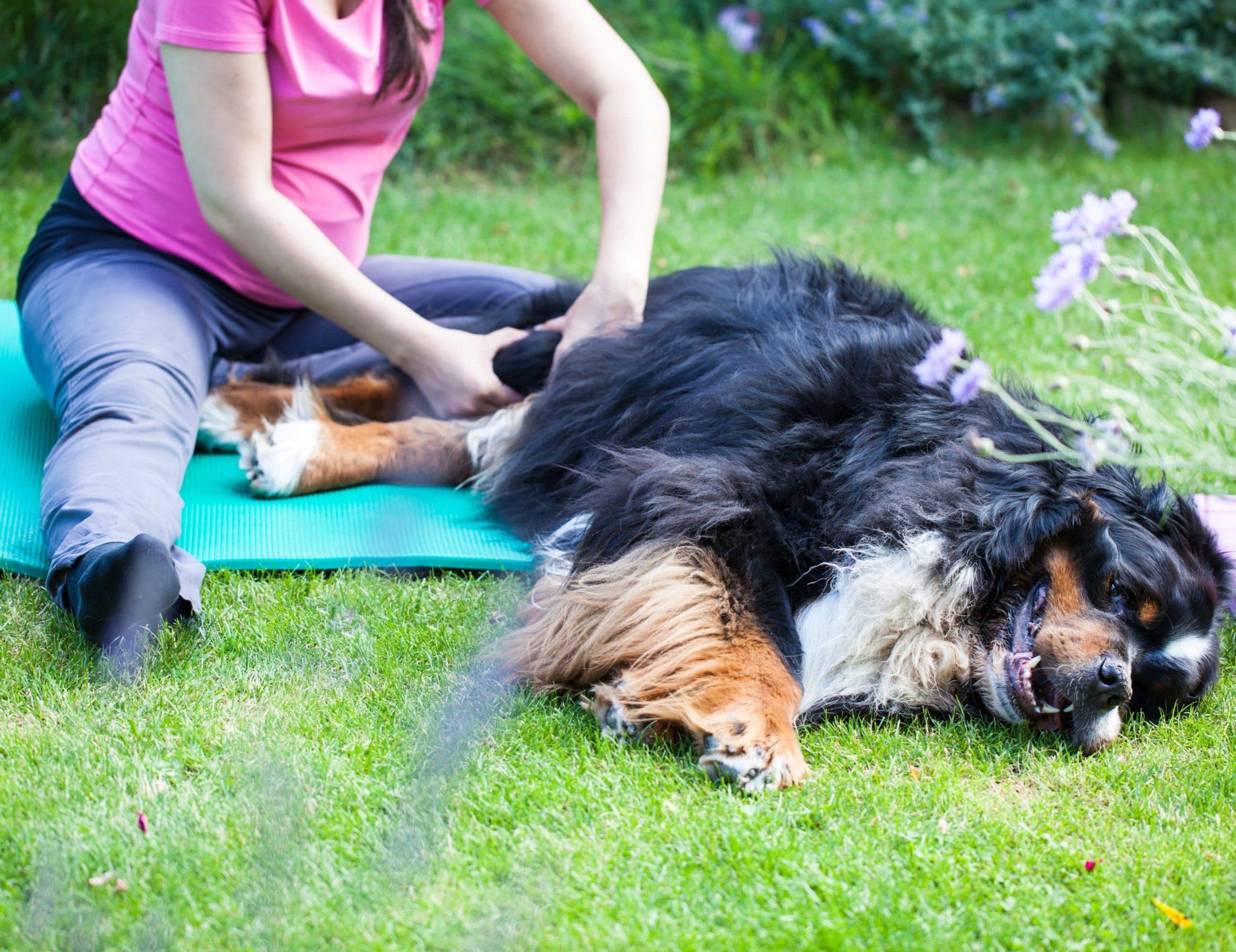 La kinésithérapie pour chien : indications et principes