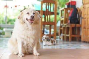 obésité chez le chien