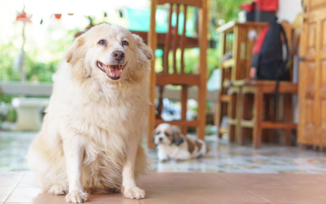 L'obésité chez le chien : causes et solutions
