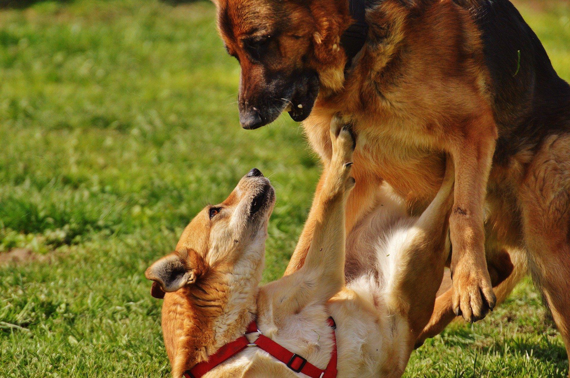 séparer deux chiens qui se battent