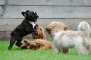 sociabiliser son chien