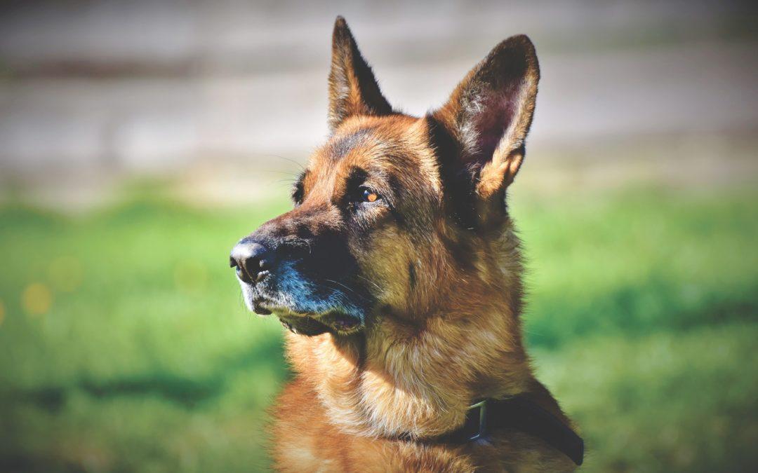 Les soins journaliers pour un vieux chien