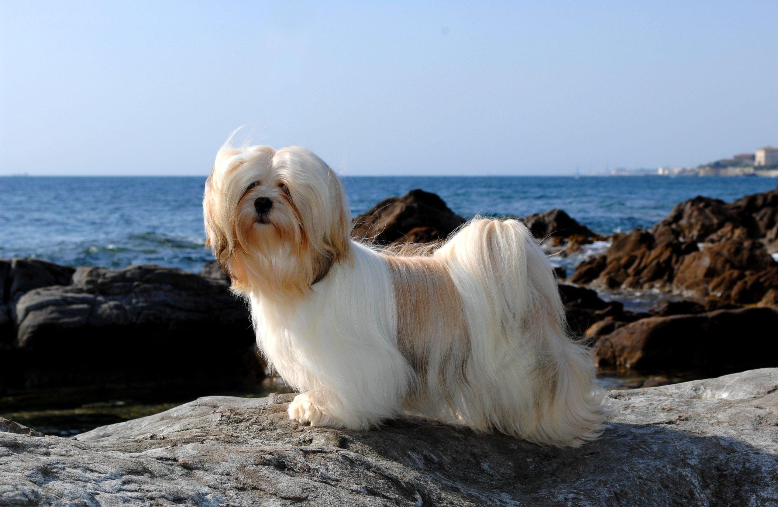 Lhassa Apso : un chien robuste à la silhouette trapue