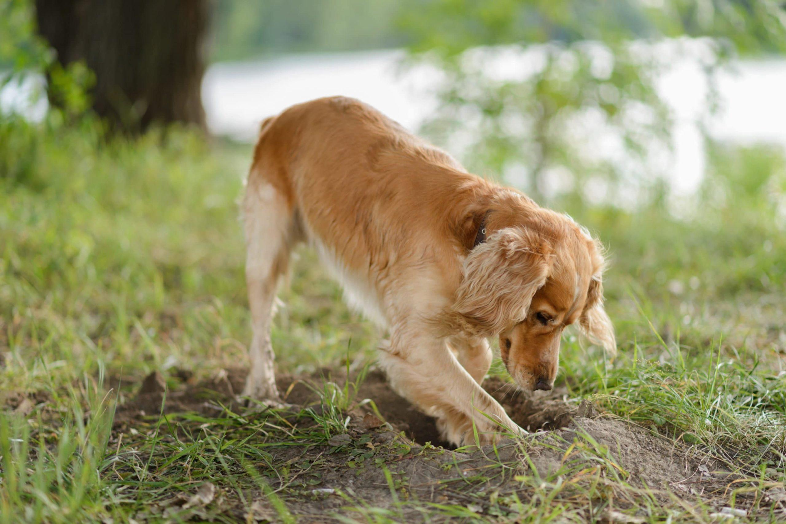 empêcher un chien de creuser
