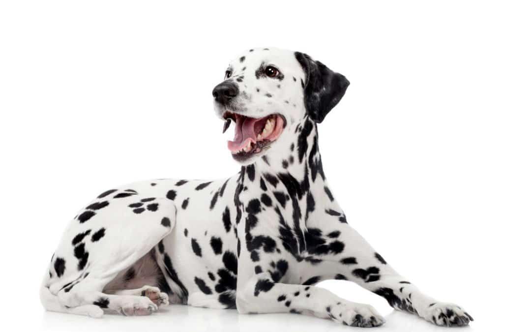 Dalmatien : le chien de compagnie élégant