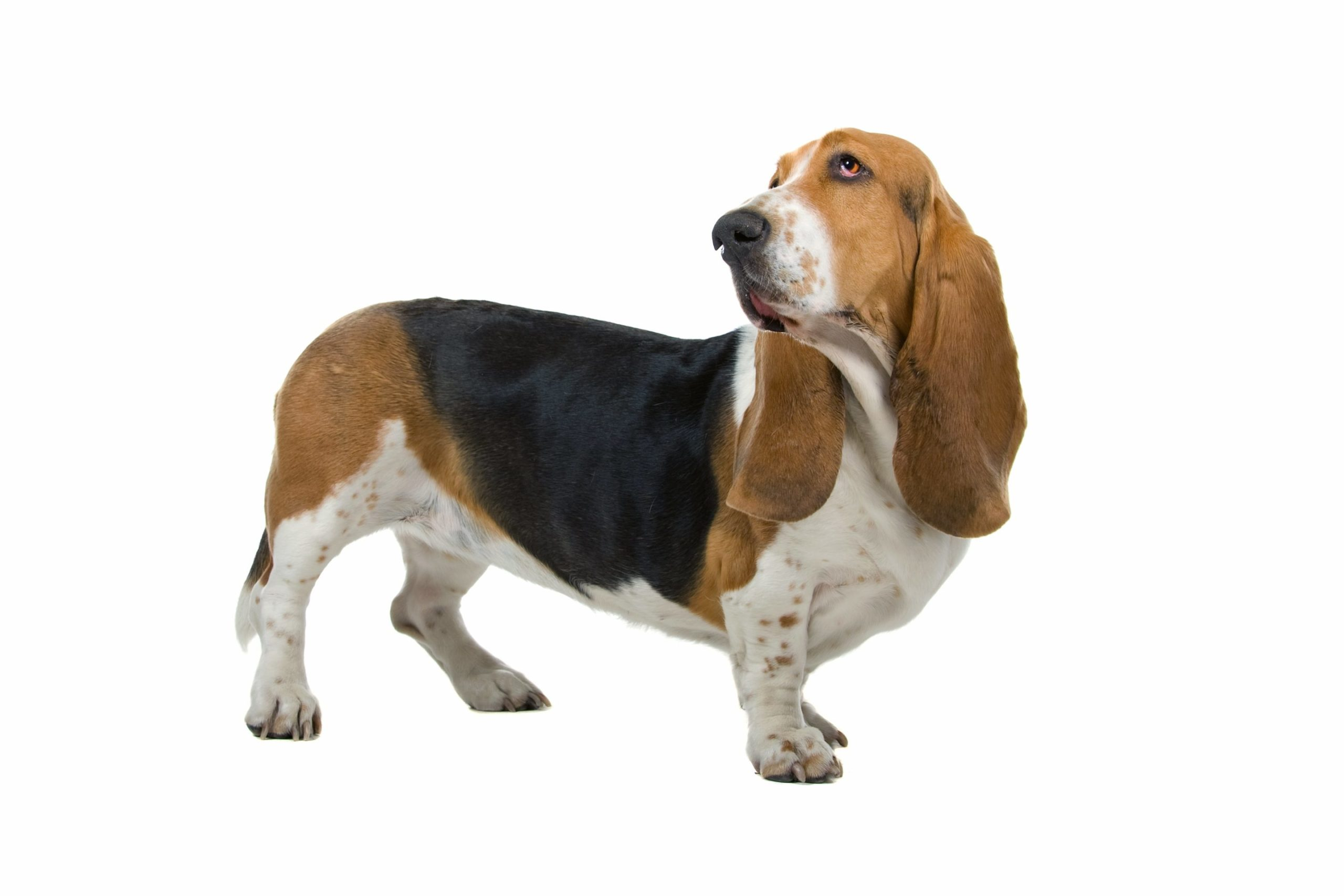 Basset Hound : un chien de compagnie très populaire