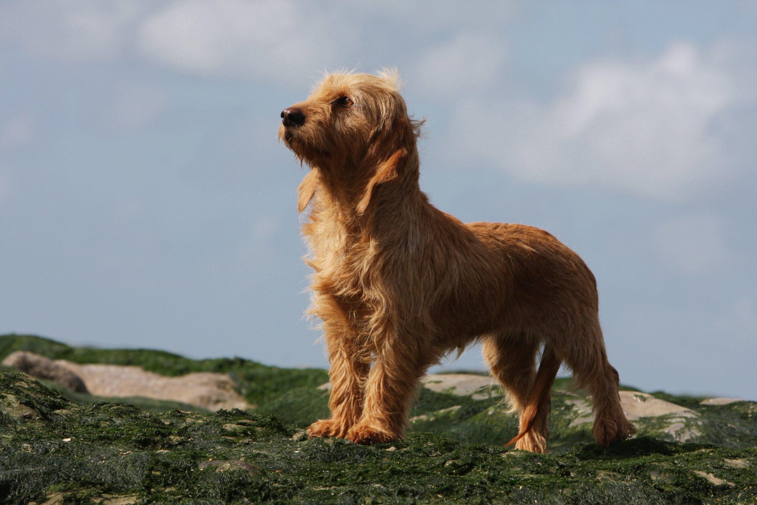 Basset fauve de Bretagne : un bon chien de compagnie