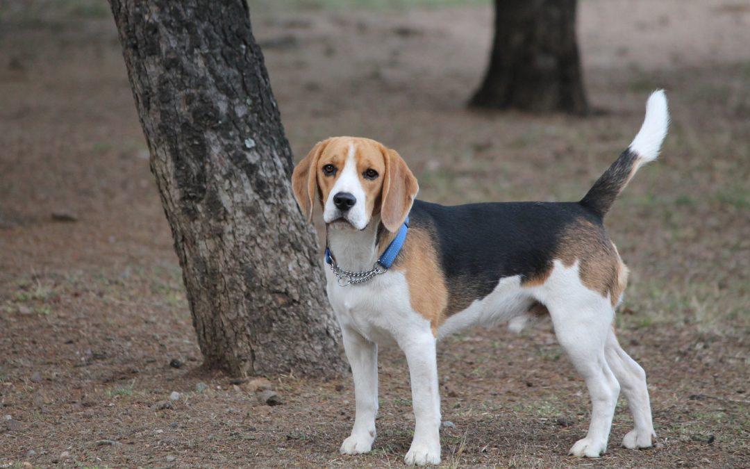 Race de chien : Beagle