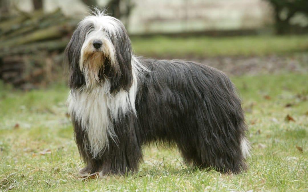 Race de chien : Bearded Collie
