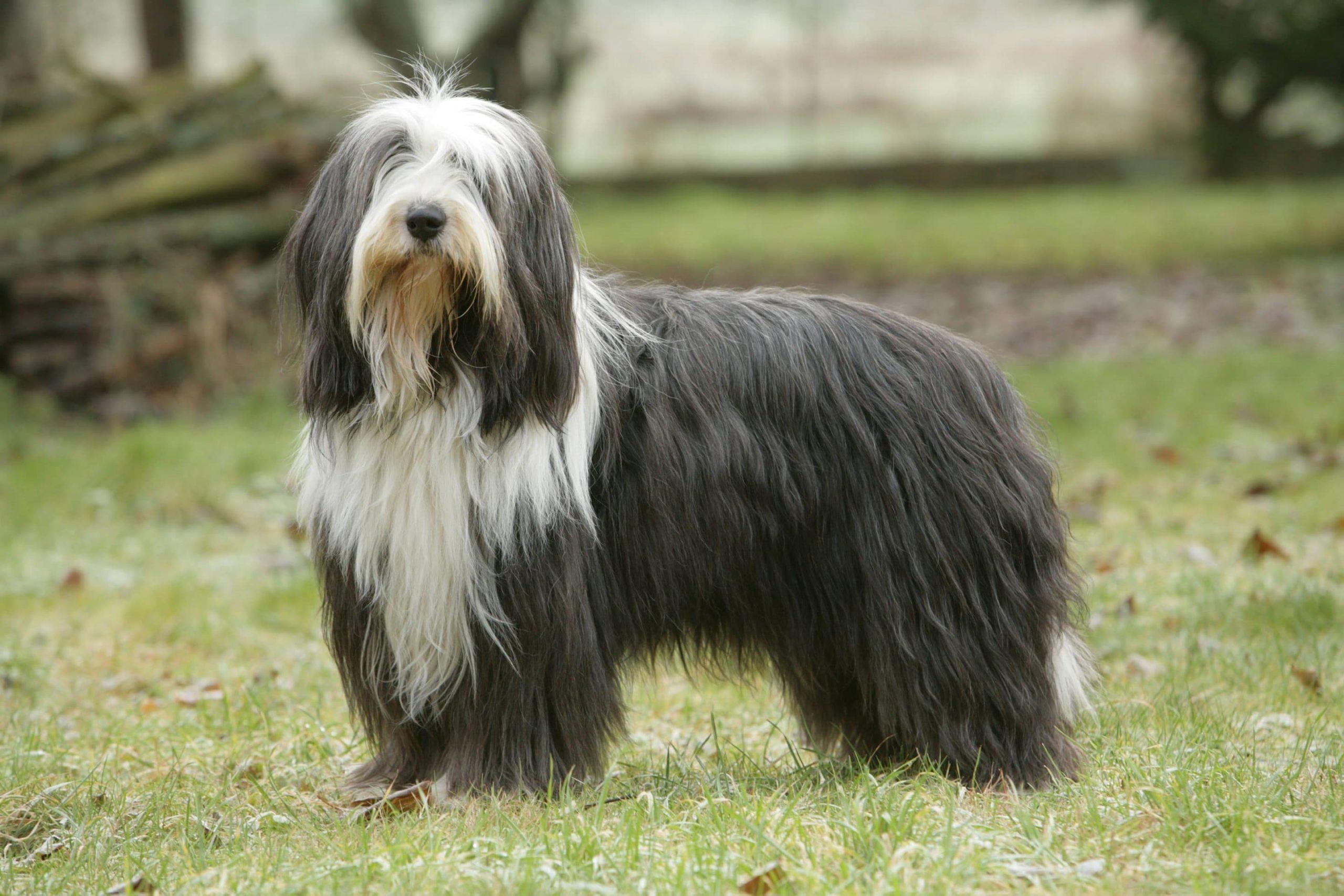 Bearded Collie : un chien que de poils et de franges