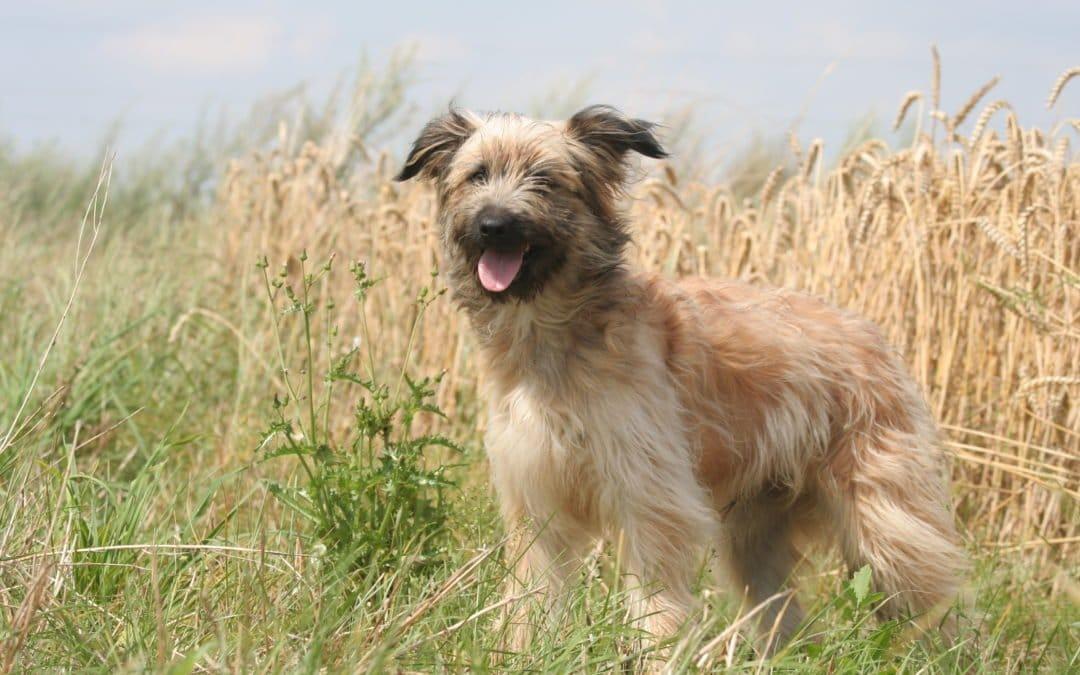 Race de chien : Berger des Pyrénées