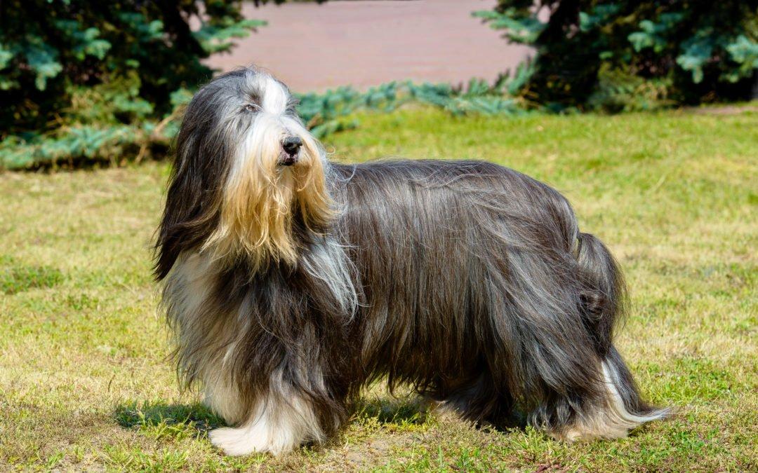 Race de chien : Bobtail