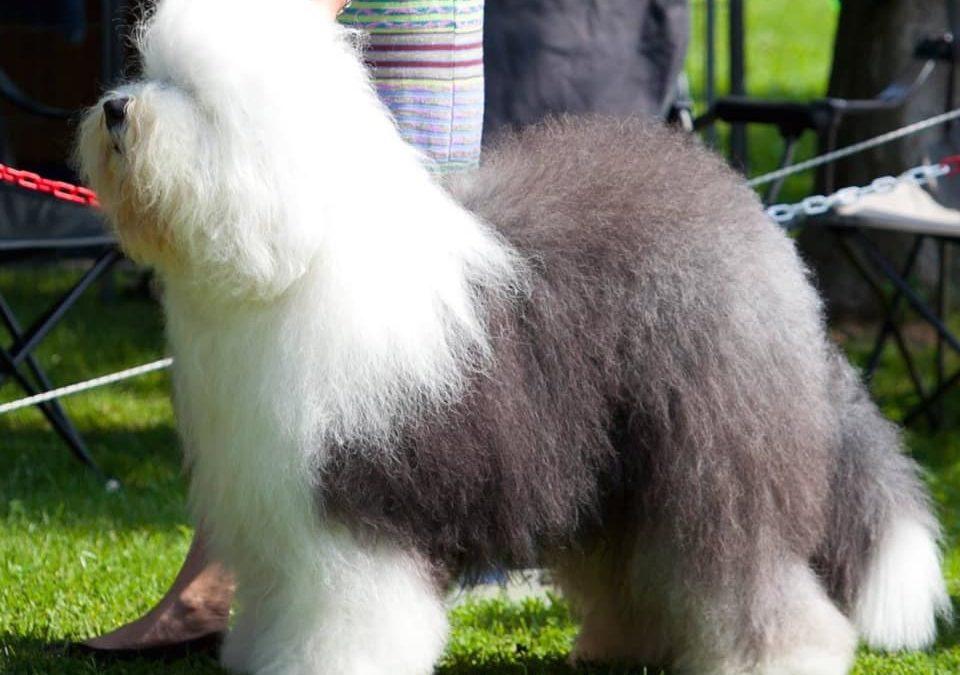 Bobtail : un chien qui attire la sympathie