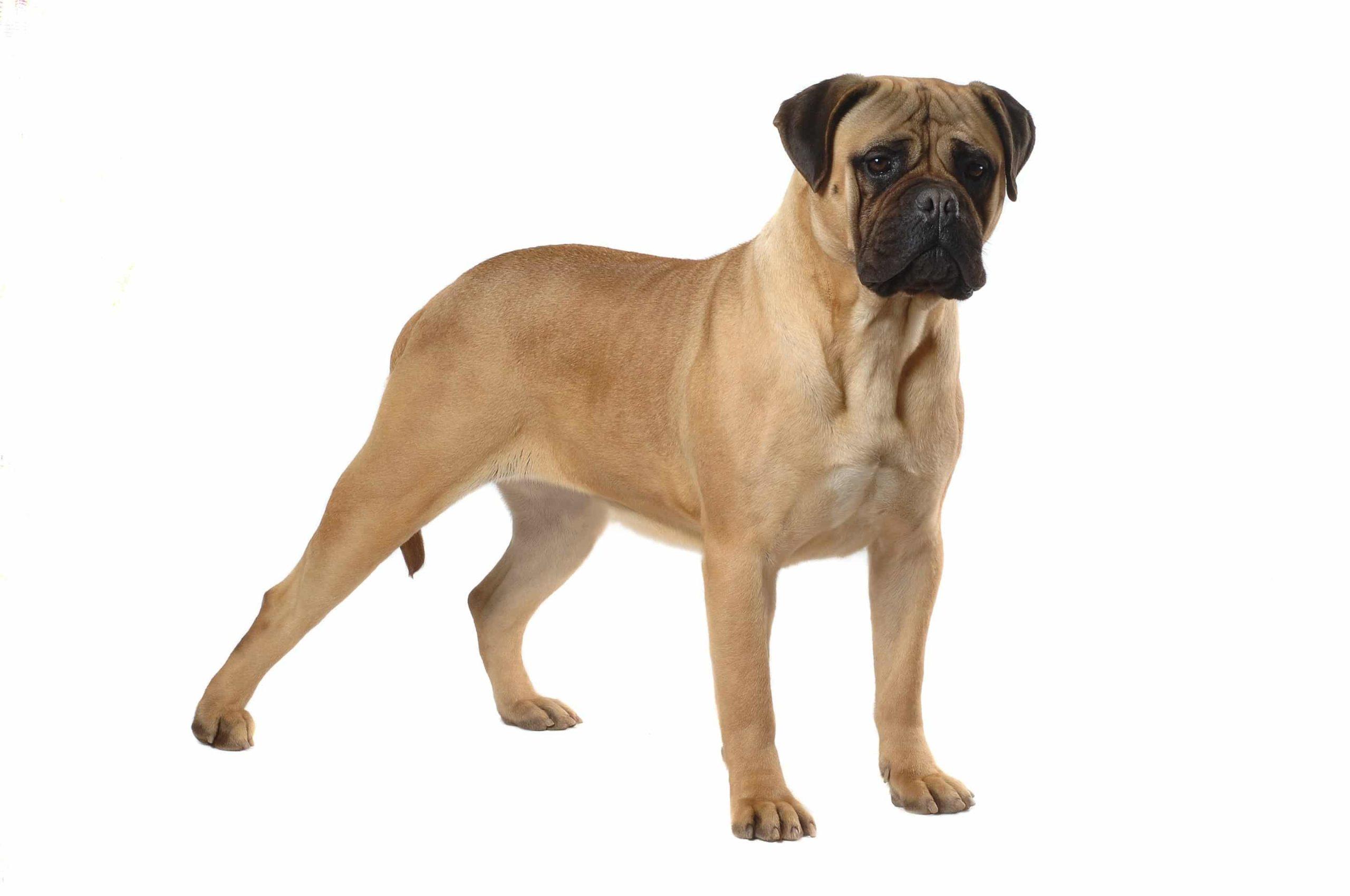 Bullmastiff : un excellent chien de garde