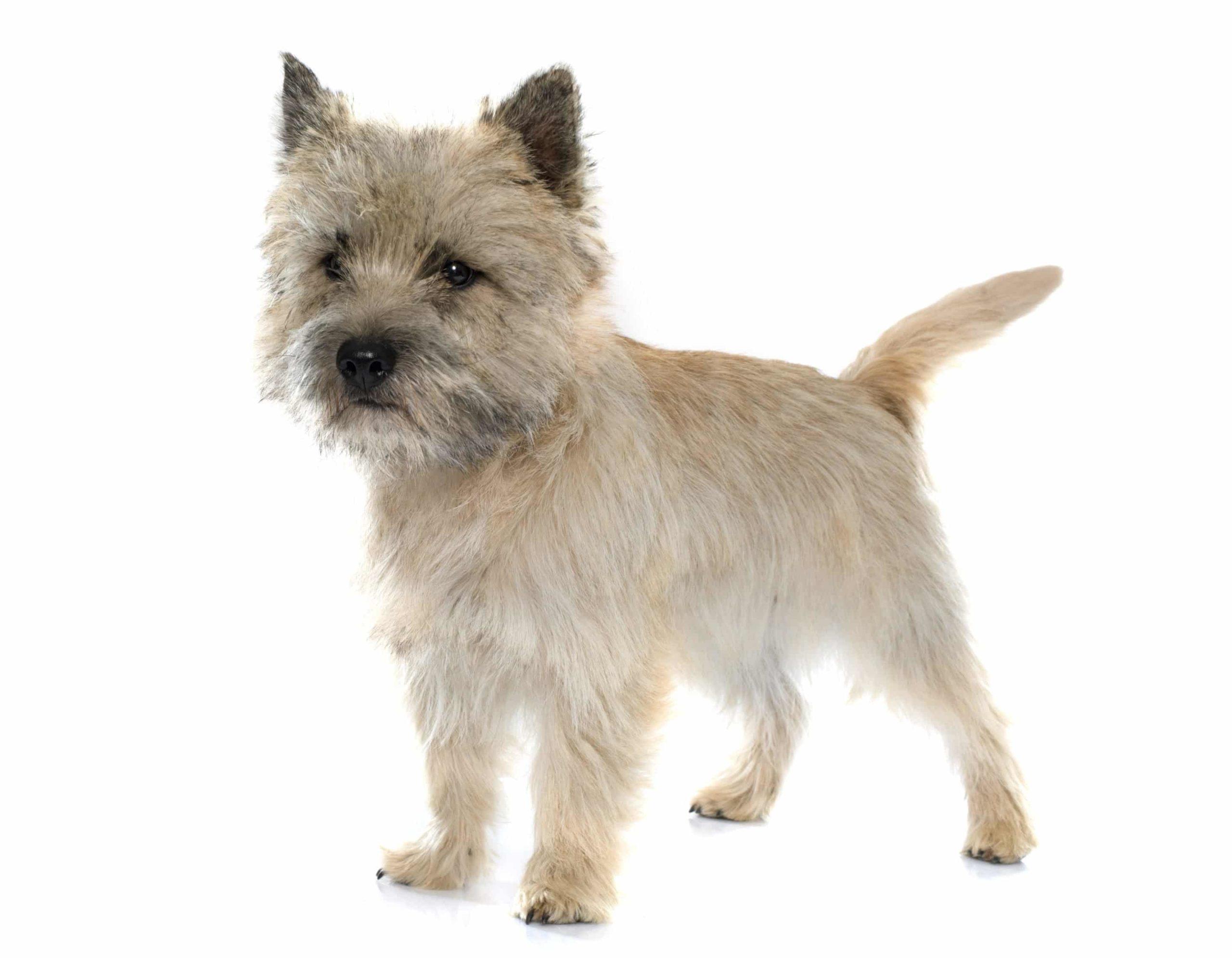 Cairn terrier : un exceptionnel chien de compagnie