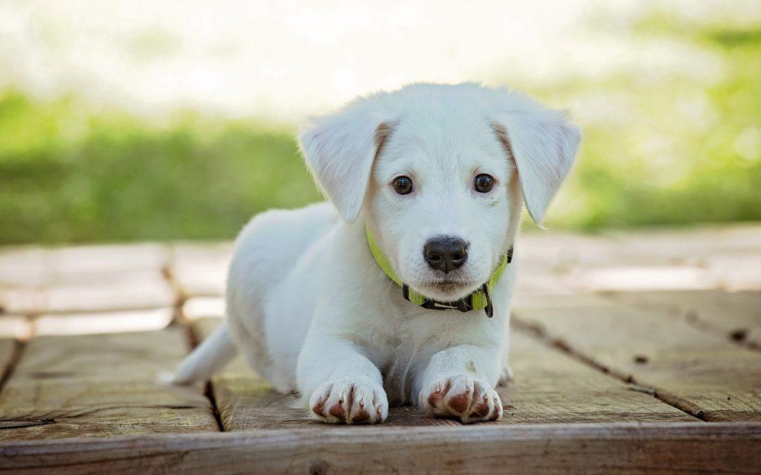 Développement du chien : 5 périodes importantes