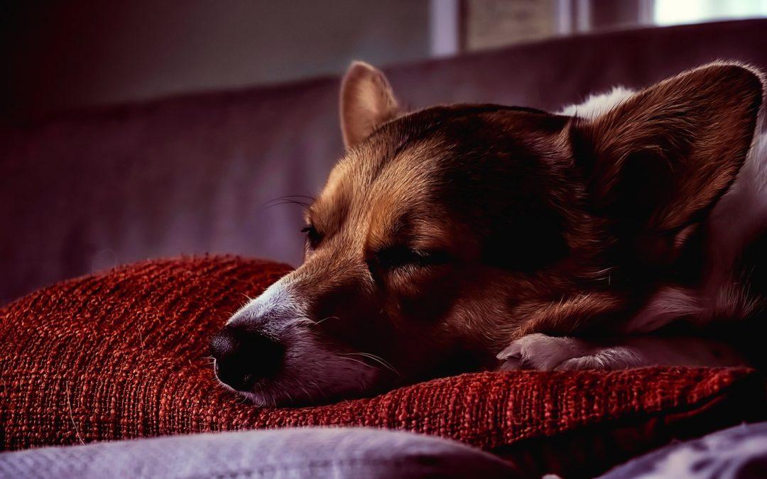 Herpès chez le chien : maladie, symptômes et traitement