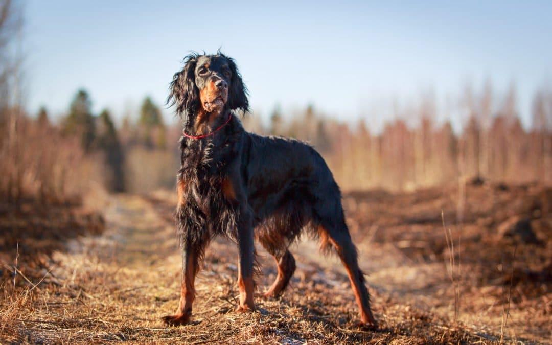 Setter Gordon : le brillant chien d'arrêt