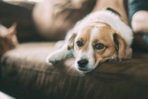Tumeurs et cancers du chien
