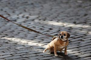 chien a peur de la laisse