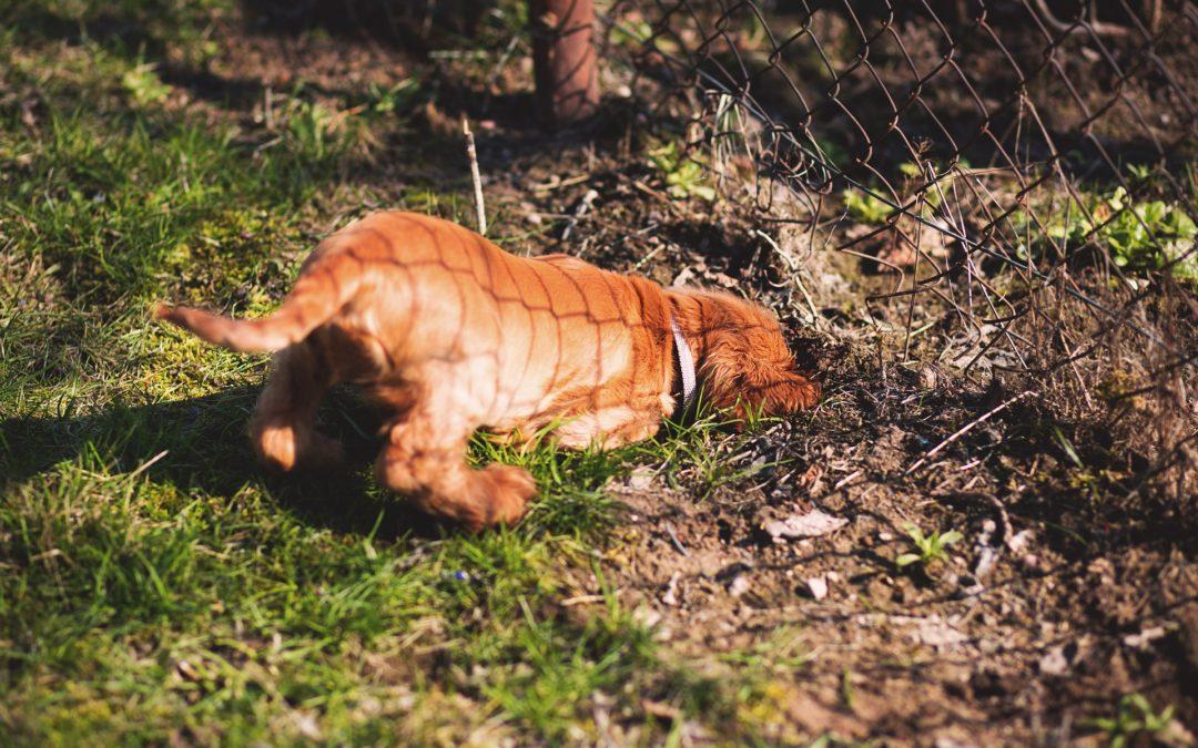 Comment empêcher un chien de toujours creuser des trous dans le jardin ?