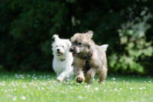 gérer deux chiens à son domicile