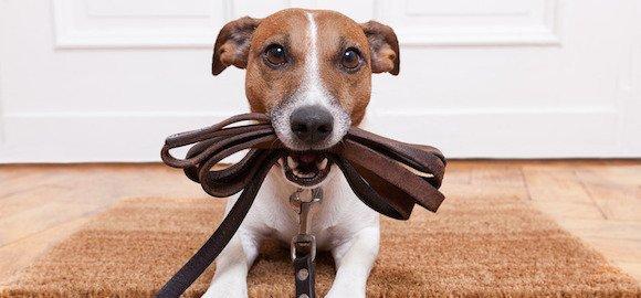 Comment apprendre à un chien à marcher en laissesans tirer ?