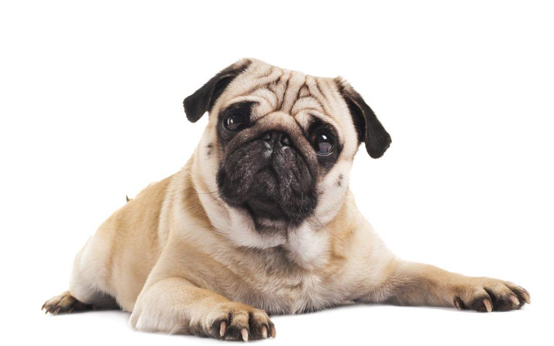 Carlin : un chien extraordinaire