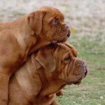 Dogue de Bordeaux : la force tranquille