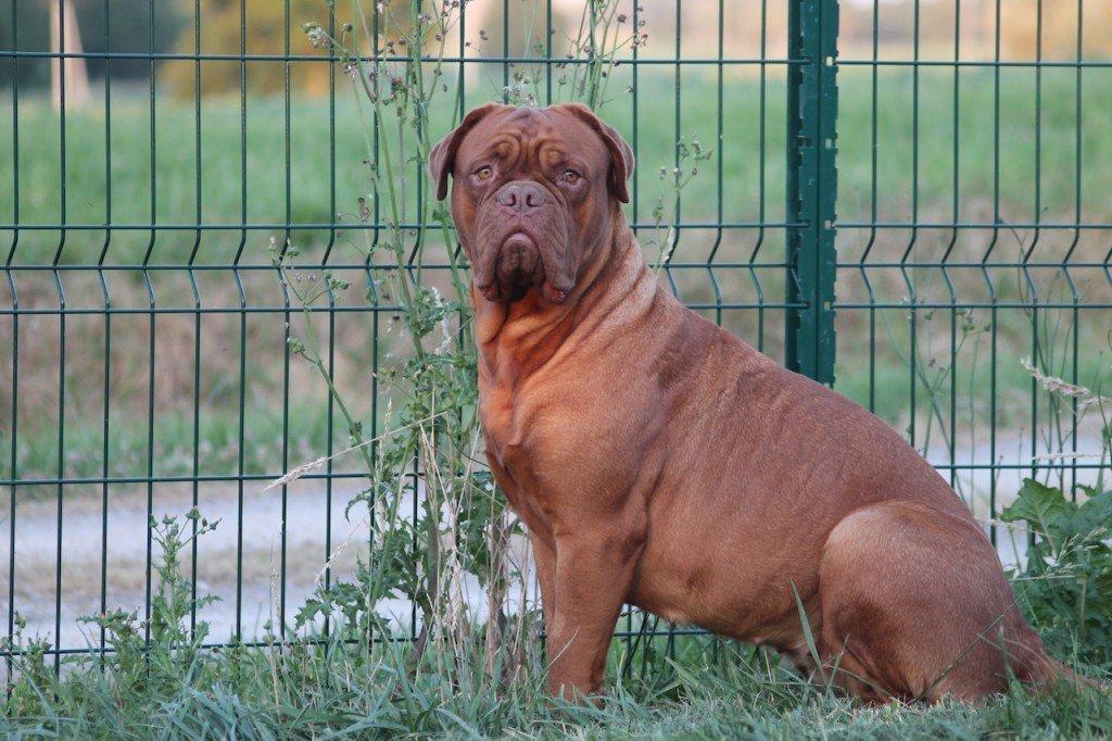 dogue-de-bordeaux-femelle