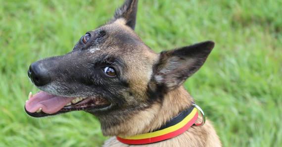 Berger Belge Malinois : la Ferrari des chiens