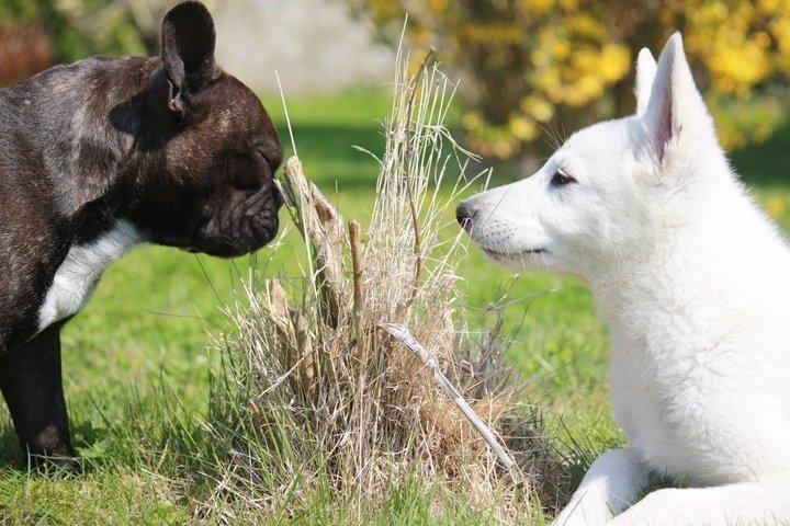 bouledogue-français-autres-animaux