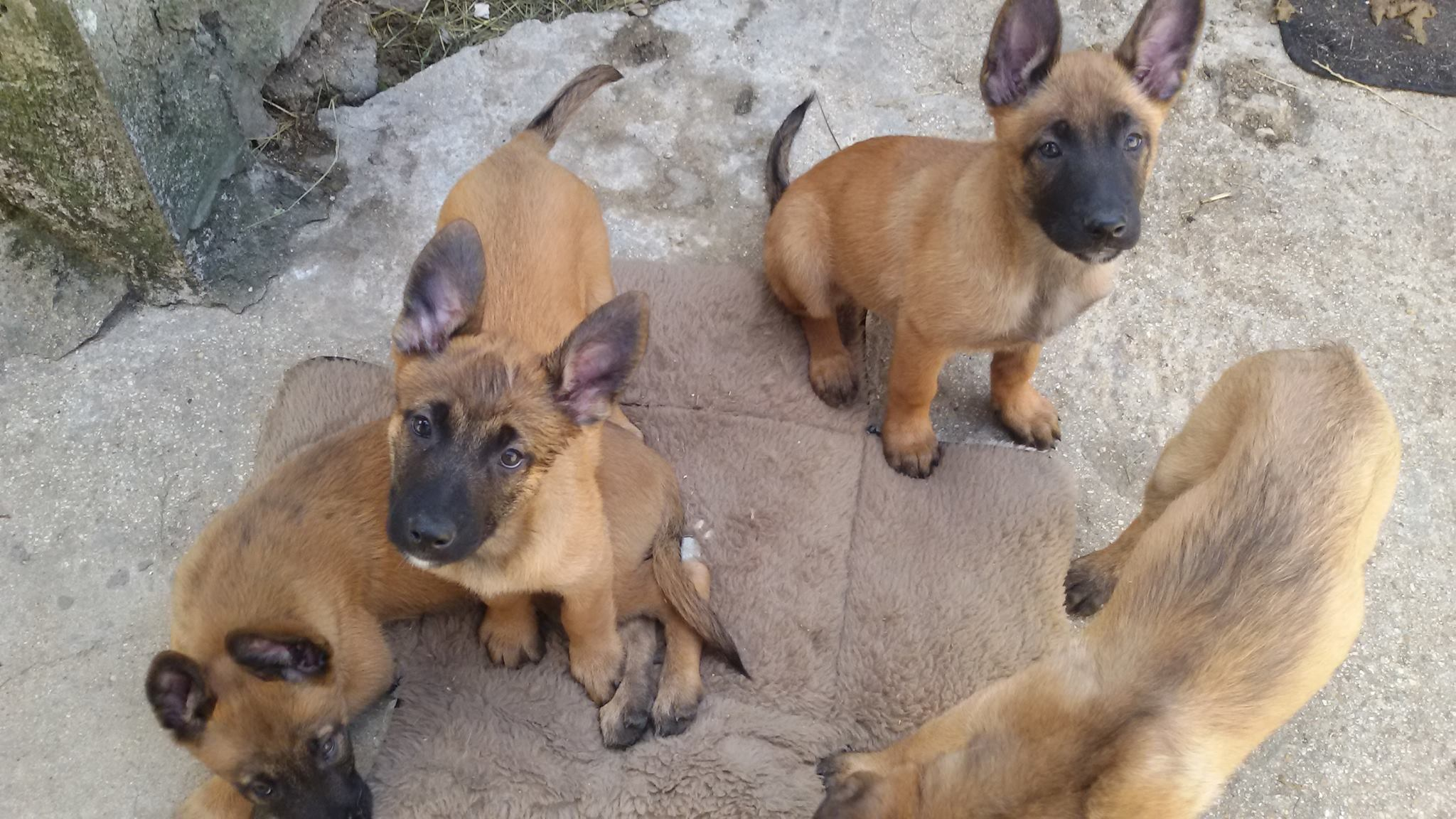 Berger Malinois | www.pixshark.com - Images Galleries With
