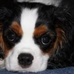 cavalier-king-charles-chiot