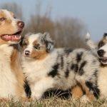 Berger australien : un chien obéissant