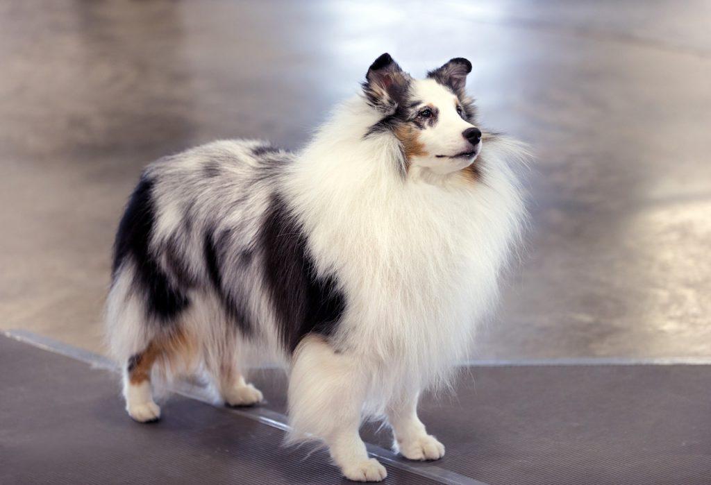 berger-des-shetland-blanc-bleu