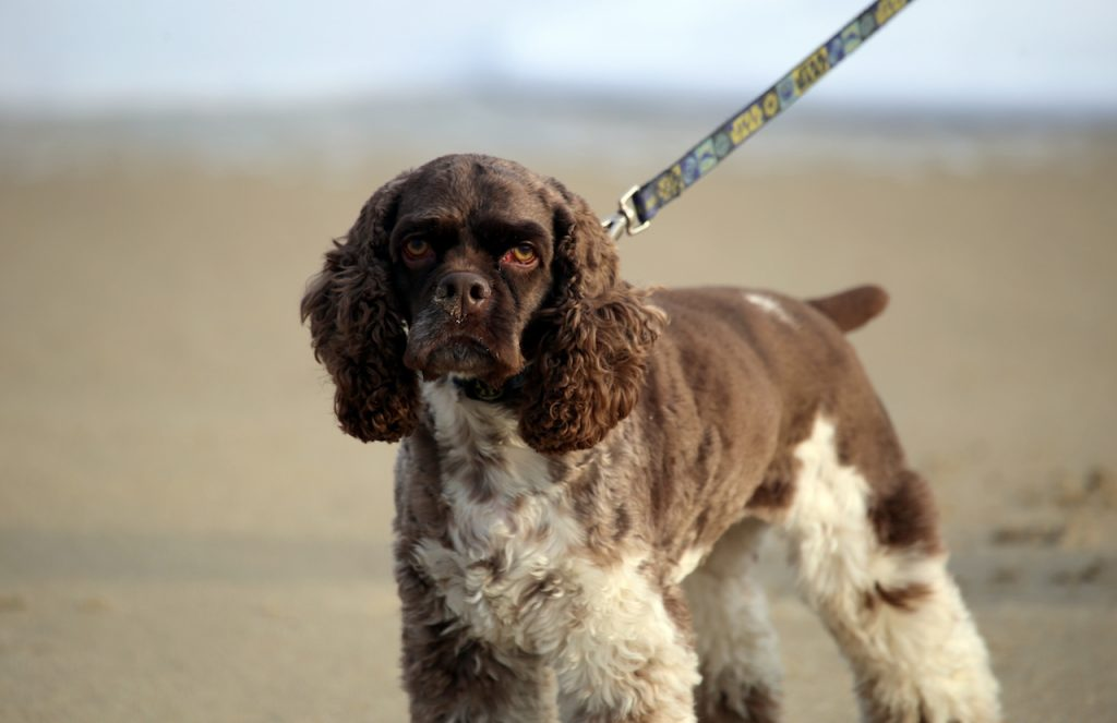 cocker-americain-spaniel-marron-blanc